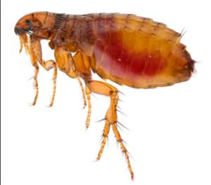 san antonio flea control